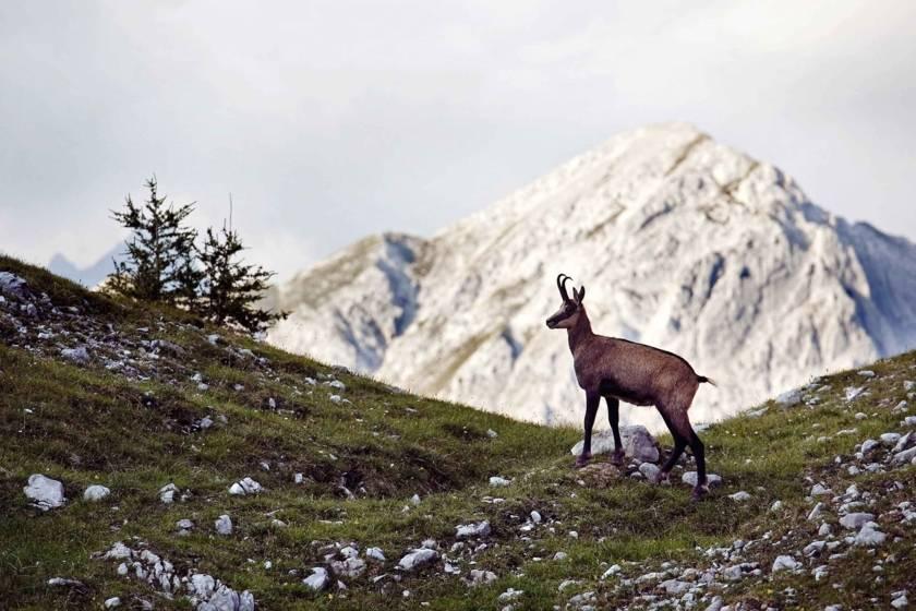 Innsbruck Gämse Berge